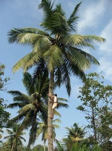Tapper harvesting palm wine