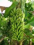 Régime de banane plantain
