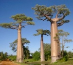 Baobab forest in Madagascar