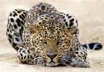 Tiger (Leopard)