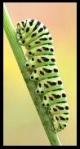 Une chenille / a caterpillar