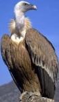 Vulture / Vautour