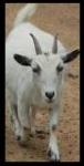 Une Chevre / A Goat