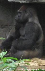 20150724_Gorille