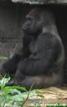 Gorille / Gorilla
