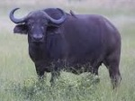 Buffle / Buffalo