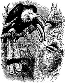 hornbill2