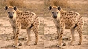 Hyena_2