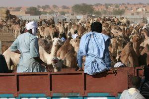 Nouakchott_camel_market