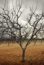 Fruitless tree