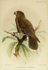Seychelles_Black parrot