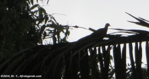 Turtledove Cameroon