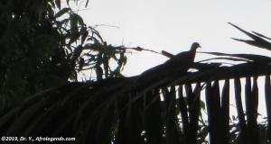 Turtledove Cameroon
