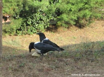 Nike Crow_Cameroon_2