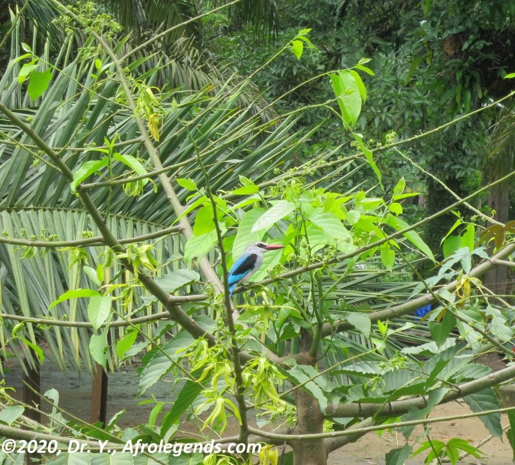 Bird_African Kingfisher