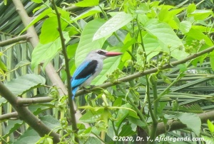 Bird_African Kingfisher_1
