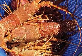 Lobster_SA