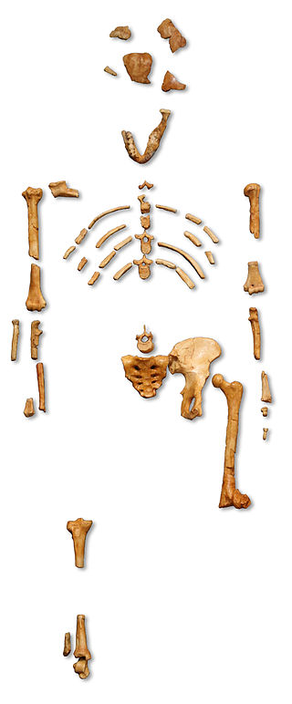 Reconstruction_of_the_fossil_skeleton_of__Lucy__the_Australopithecus_afarensis